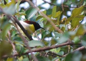 Purple-Rumped Sunbird - Male